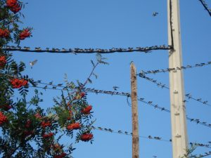 Golondrinas en los cables